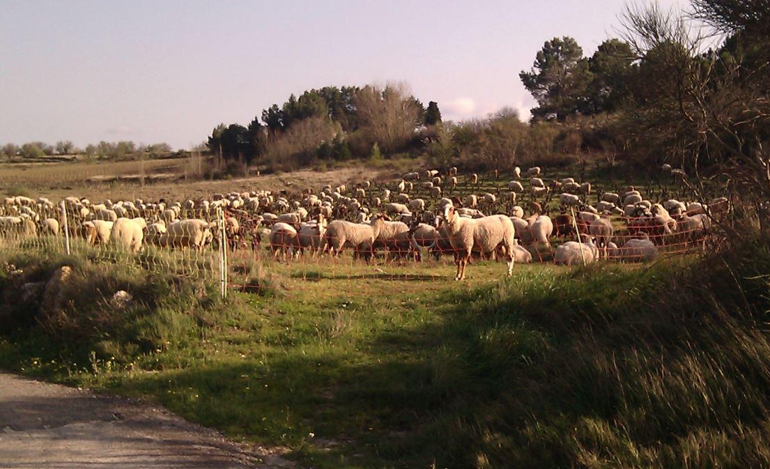 carignan_moutons